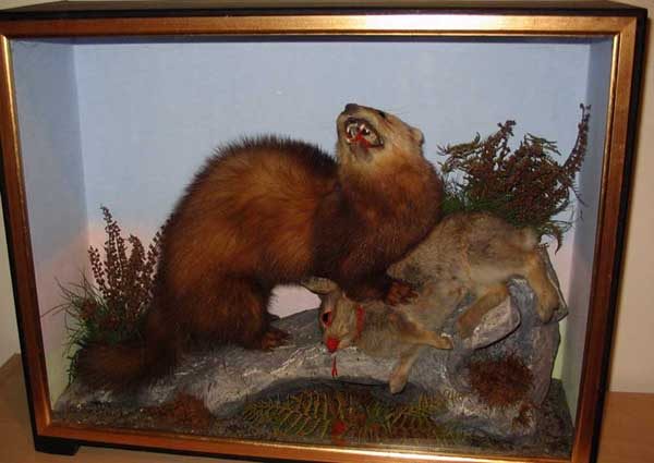 Polecat (Hutchings)[1].JPG